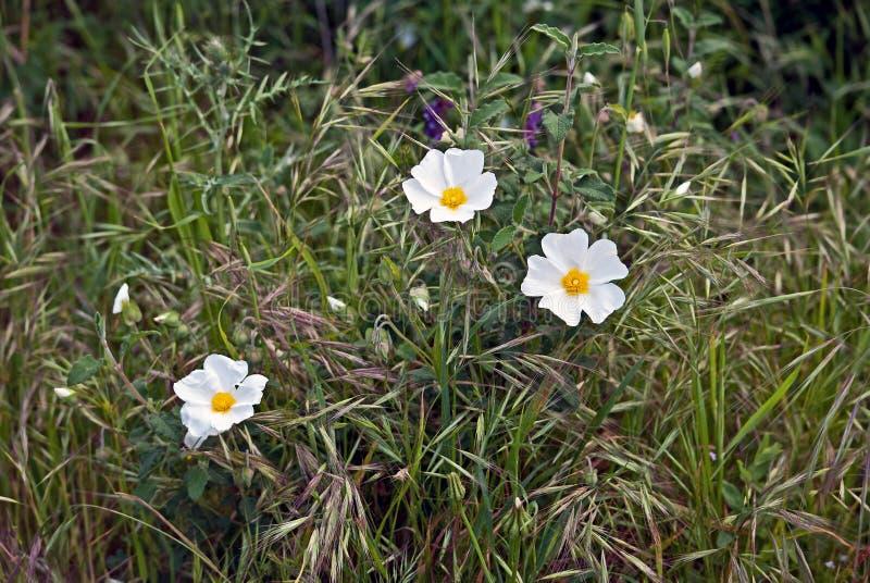 Ein Strauch mit weißen Blumen im Gras lizenzfreies stockfoto