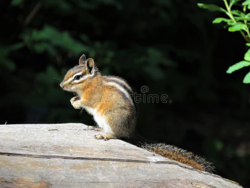 Ein Streifenhörnchen auf einem Klotz stockbild