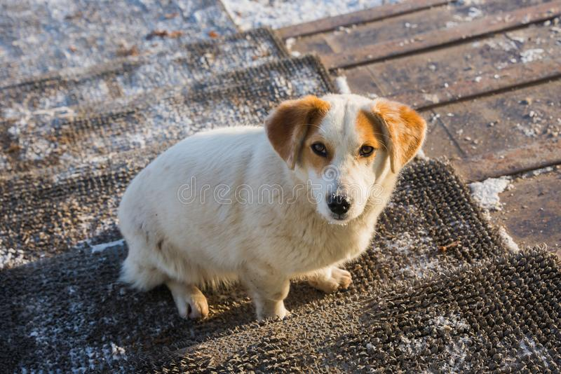 Ein streunender Hund auf der Türstufe, die gerade im Auge schaut lizenzfreies stockbild