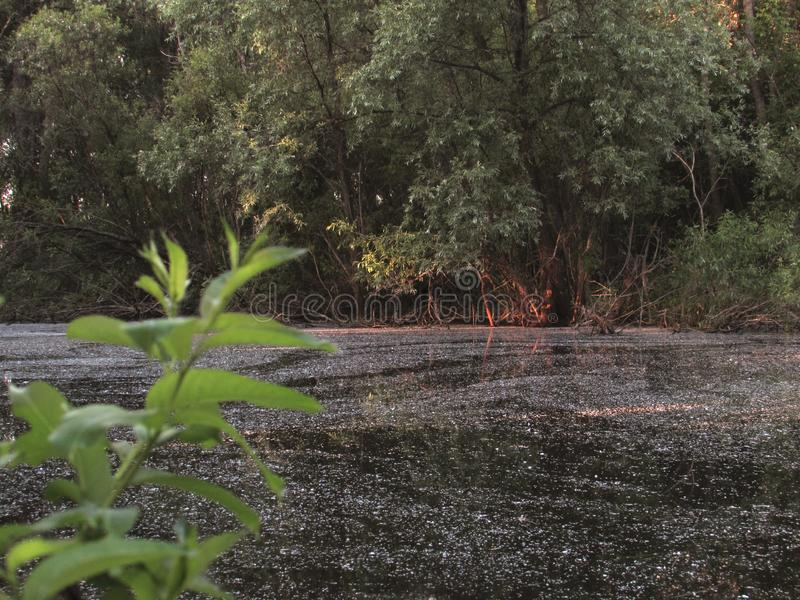 Ein sumpfiger kleiner dunkler Waldsee mit Schlamm, grünen Küstenbüschen und einer hellgrünen Niederlassung mit Blättern stockbild