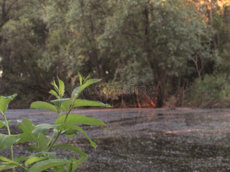 Ein sumpfiger kleiner dunkler Waldsee mit Schlamm, grünen Küstenbüschen und einer hellgrünen Niederlassung mit Blättern stockfotografie
