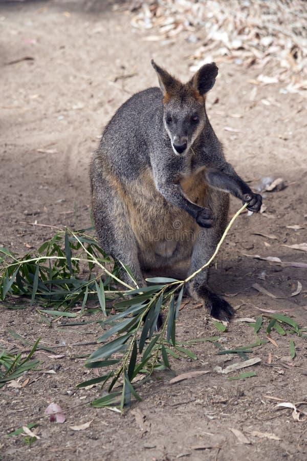 Ein Sumpfwallaby stockfoto