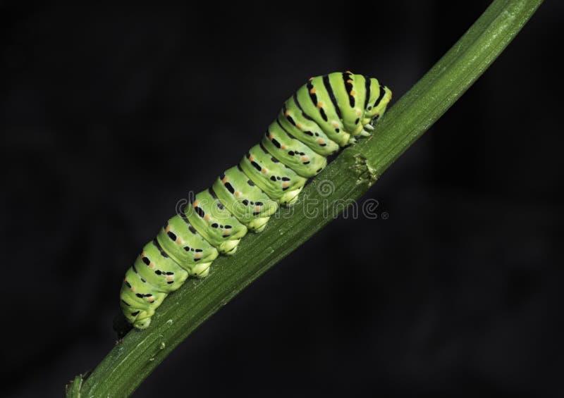 Ein Swallowtail-Schmetterling Caterpillar, das einen Sellerie-Stiel klettert lizenzfreie stockbilder