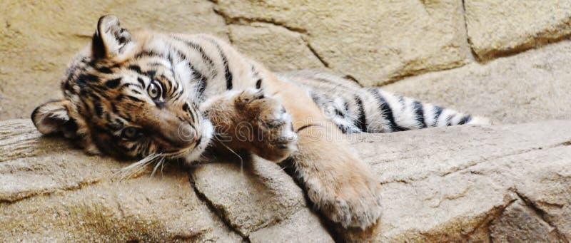 Ein Tag im Leben eines Tigers lizenzfreies stockbild