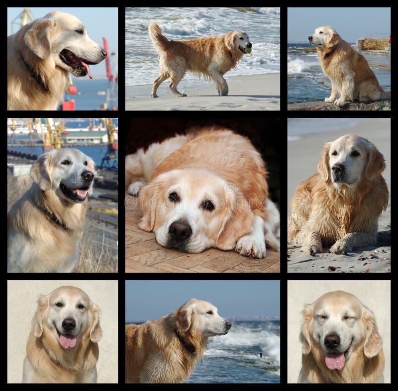Ein Tag vom Leben des goldenen Apportierhunds - Collage lizenzfreie stockfotos