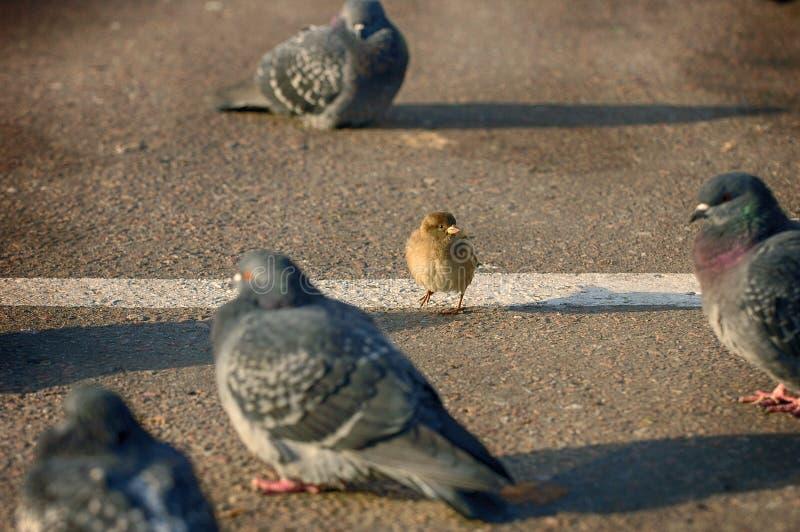 Ein tapferer Spatz gegen Tauben auf der Straße Spatz gegen Tauben Humorszenenbild Wilde Stadtvögel des Spatzen und der Taube Lust lizenzfreie stockfotos