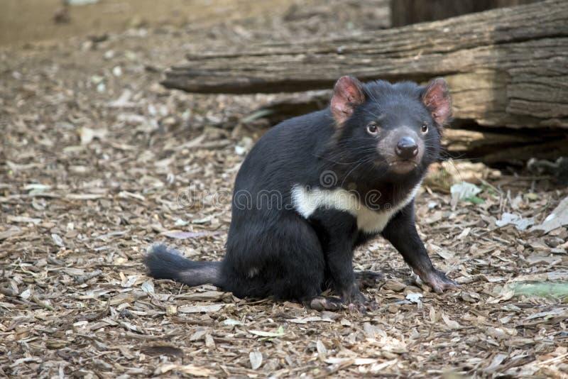 Ein tasmanischer Teufel lizenzfreies stockbild