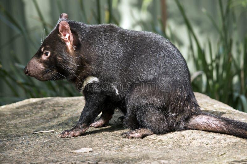 Ein tasmanischer Teufel lizenzfreie stockfotos