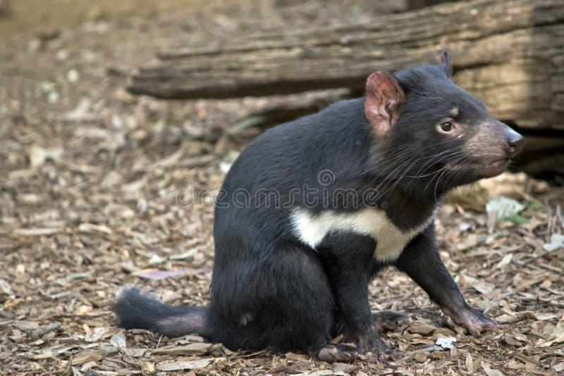 Ein tasmanischer Teufel stockbilder