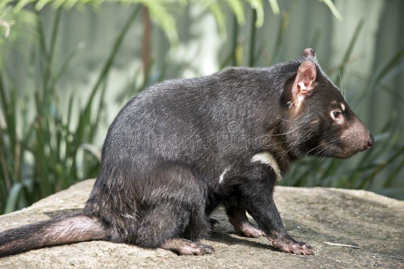Ein tasmanischer Teufel stockfotos