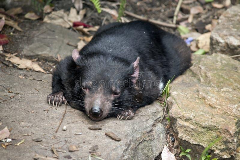 Ein tasmanischer Teufel lizenzfreie stockfotografie