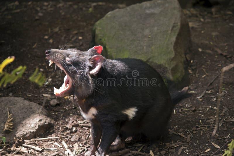 Ein tasmanischer verwirrender Teufel stockfoto