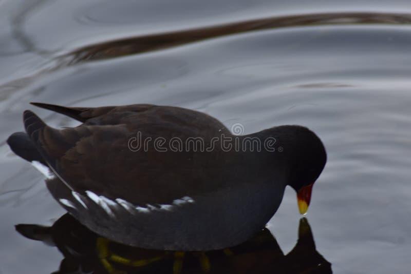 Download Ein Teichhuhnvogel stockbild. Bild von vogel, wasser - 106801945