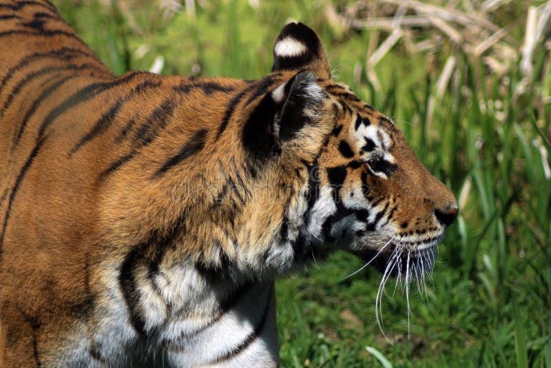Ein Tiger auf dem Prowl, welche nach seiner folgenden Mahlzeit sucht lizenzfreie stockfotografie