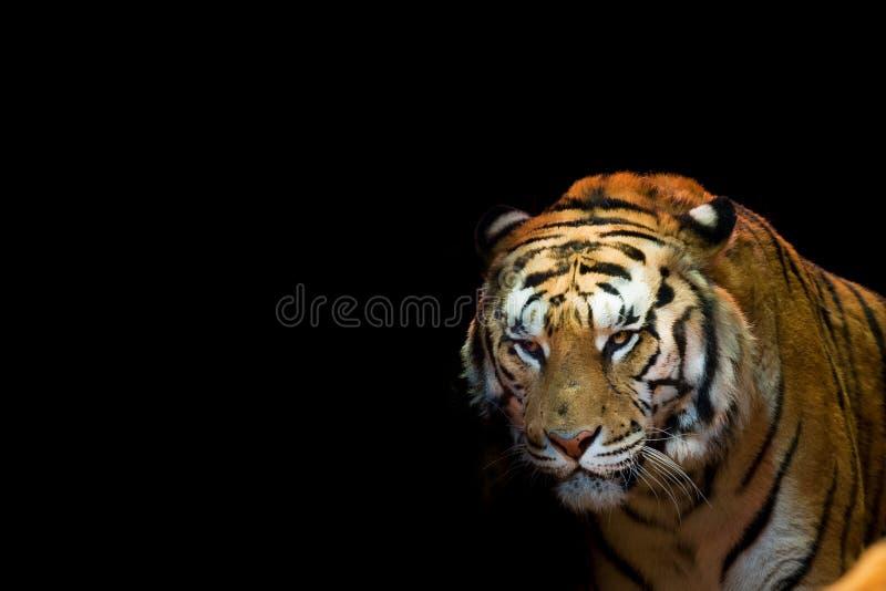 Ein Tiger bereit, das Betrachten Sie in Angriff zu nehmen stockfotografie