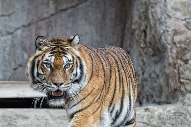Ein Tiger bereit, das Betrachten Sie in Angriff zu nehmen lizenzfreies stockbild