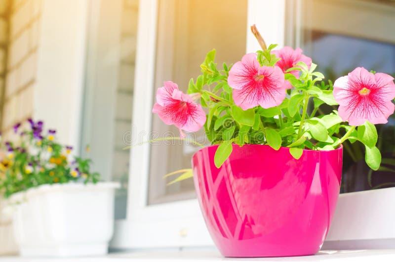 Ein Topf rosa Petunien steht auf dem Fenster, schönen den Frühlings- und Sommerblumen für das Haus, Garten, Balkon oder Rasen, na stockfoto