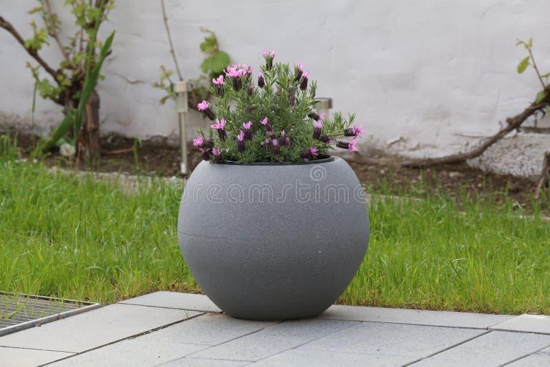 Ein Topf violette Blumenst?nde auf der Terrasse stockfotografie