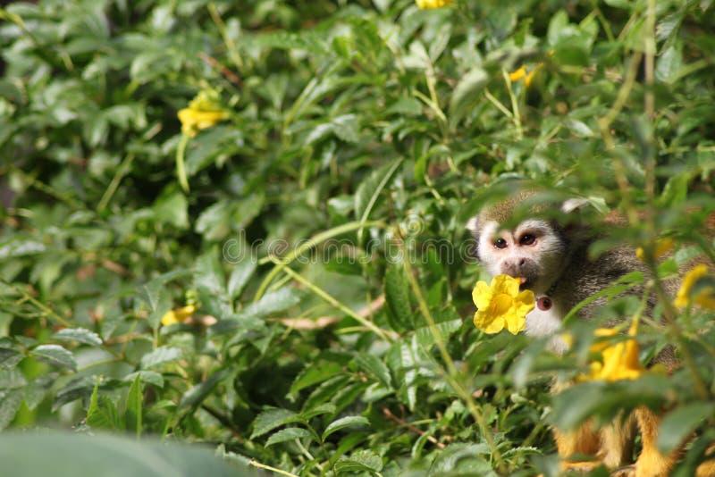 Ein Totenkopfäffchen isst die gelbe Blüte einer Blume lizenzfreies stockbild