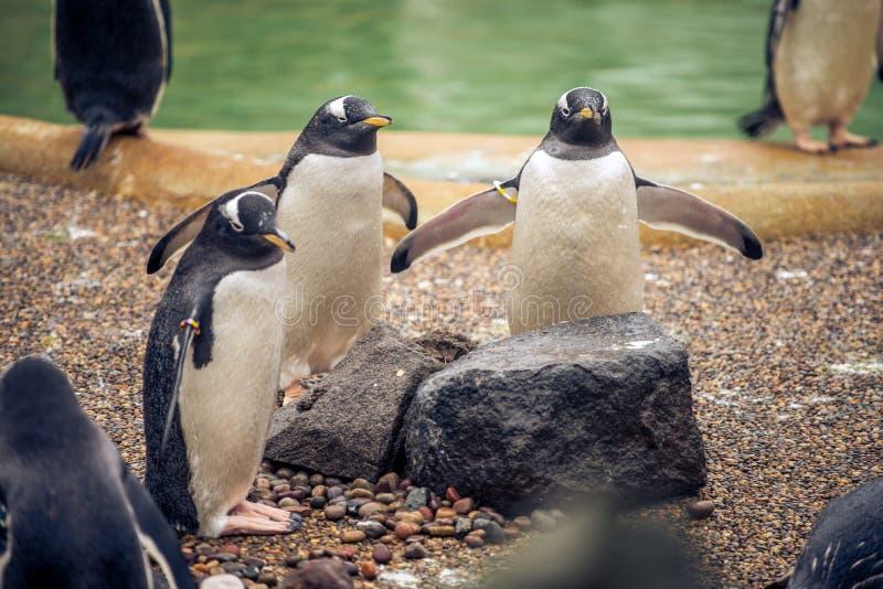 Ein Trio von den pengiuns bereit zu einem Bad in einem Zoo in Schottland lizenzfreie stockfotografie