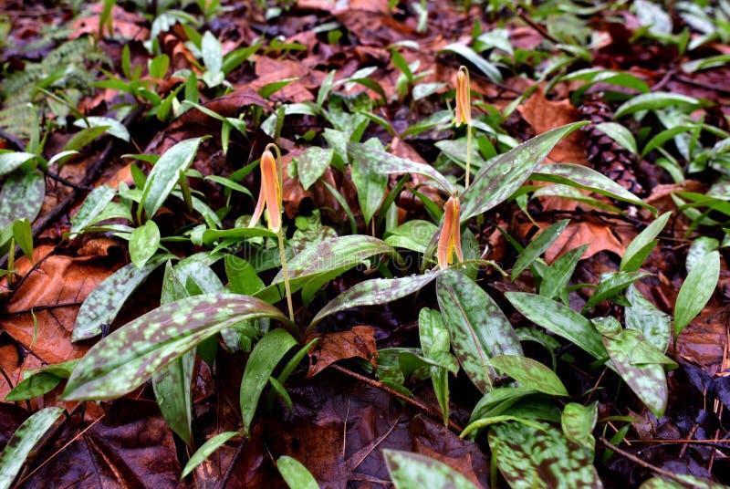 Ein Trio von Forellenlilienblumen mit den beschmutzten Blättern, die in einem Frühlingswald auftauchen lizenzfreie stockbilder