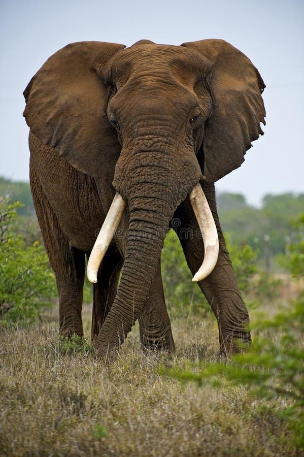 Ein Trophäe Elefant Bull lizenzfreie stockfotos