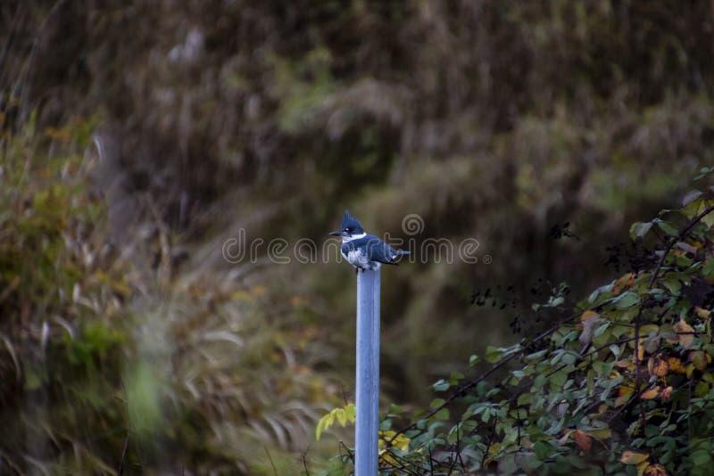 Ein umgeschnallter Eisvogel gehockt auf einem grauen Metallpfosten lizenzfreie stockfotografie