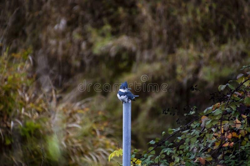 Ein umgeschnallter Eisvogel gehockt auf einem grauen Metallpfosten lizenzfreies stockbild