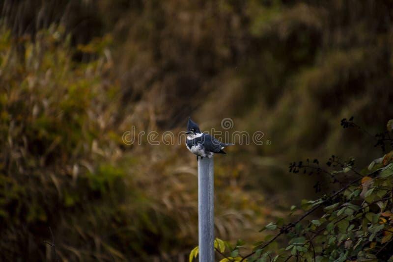 Ein umgeschnallter Eisvogel gehockt auf einem grauen Metallpfosten lizenzfreie stockfotos