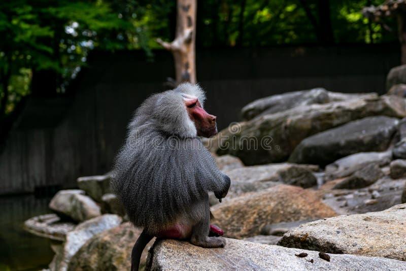 Ein Umhangpavian sitzt auf einem Felsen stockfotografie
