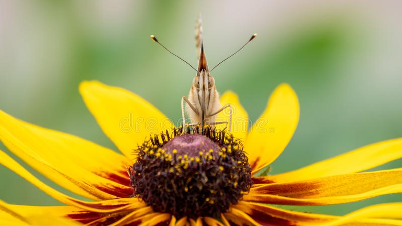 Ein Vanessa-cardui Schmetterling mit großen Augen sitzt auf einer gelben Blume und trinkt Nektar mit seiner Proboscis gemalte Dam stockbilder