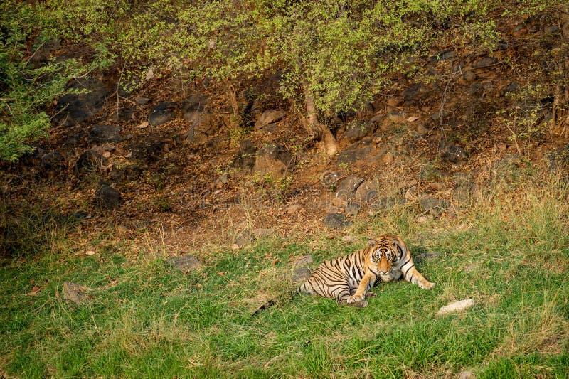 Ein verärgerter männlicher Tiger mit Ausdruck auf seinem Gesicht am ranthambore lizenzfreies stockfoto