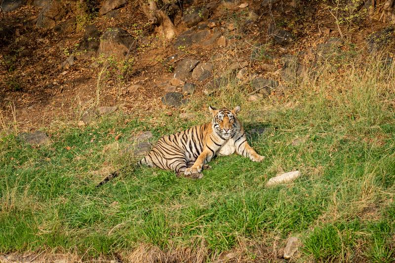 Ein verärgerter männlicher Tiger mit Ausdruck auf seinem Gesicht am ranthambore lizenzfreie stockfotografie