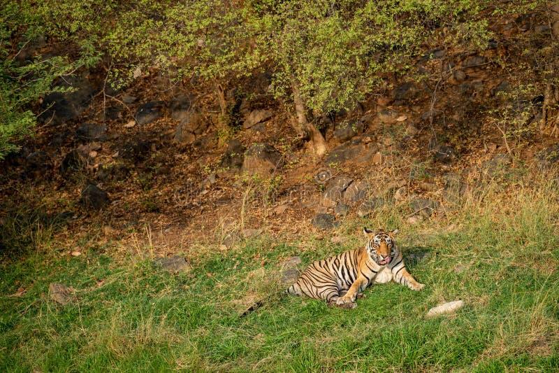 Ein verärgerter männlicher Tiger mit Ausdruck auf seinem Gesicht am ranthambore stockfotos