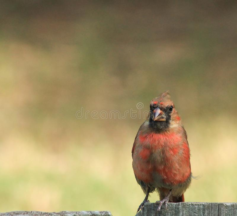 Ein verlierender männlicher Kardinal stockfotos