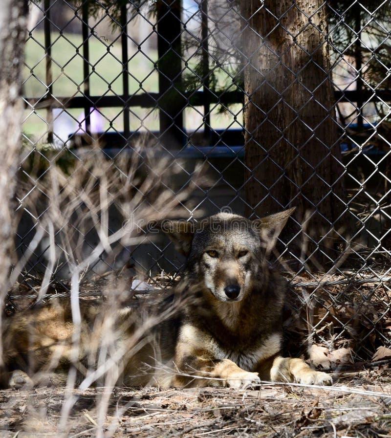 Ein versteckender roter Wolf lizenzfreies stockfoto