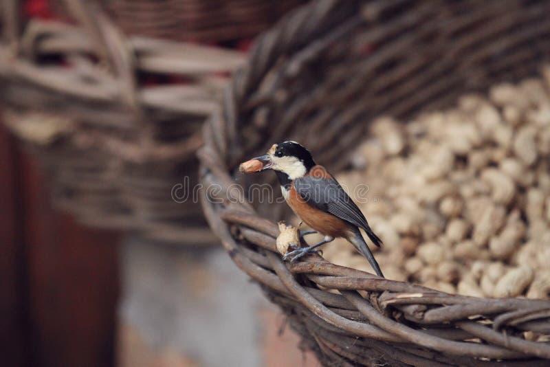 Ein Vogel hatte eine Erdnuss in seinem Schnabel stockbild