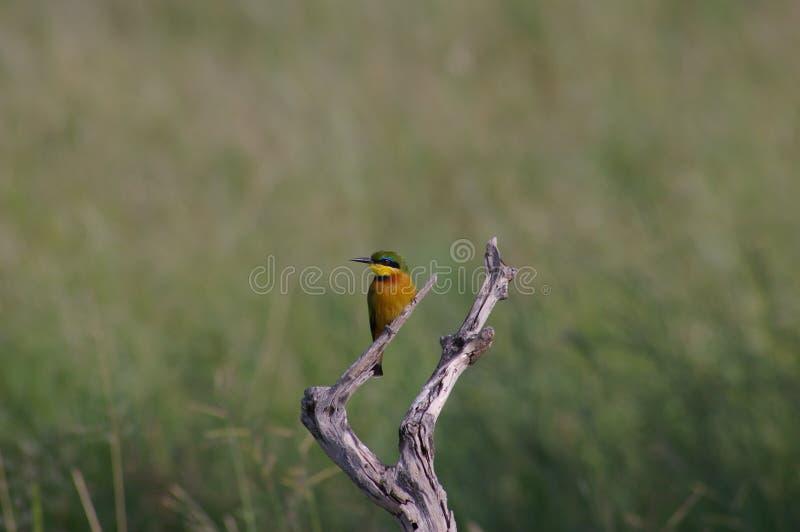 Ein Vogelbienenfresser in Tansania stockfotos