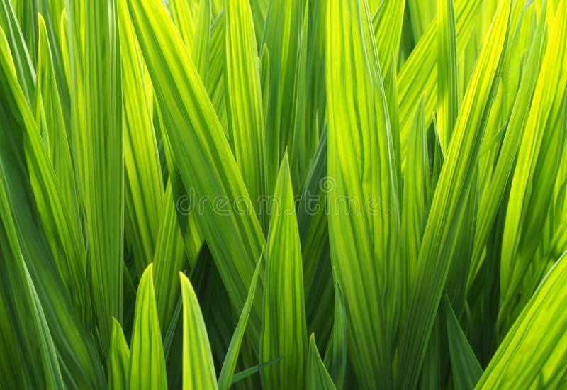ein voller Rahmen hellgrüner, leuchtender, sonnenlichter Irisblatthintergrund lizenzfreies stockfoto