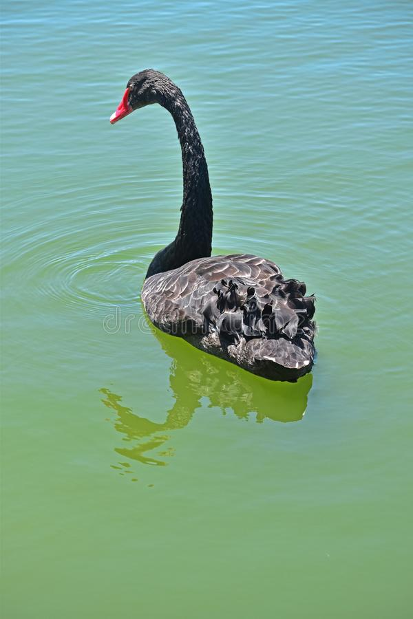 Ein würdevoller schwarzer Schwan auf dem Wasser Eine große und mannigfaltige Anzahl von Vögeln machen See Morton ein Haus stockfotos
