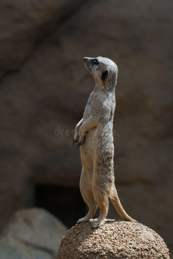 Ein wachsames Meerkat stockbild