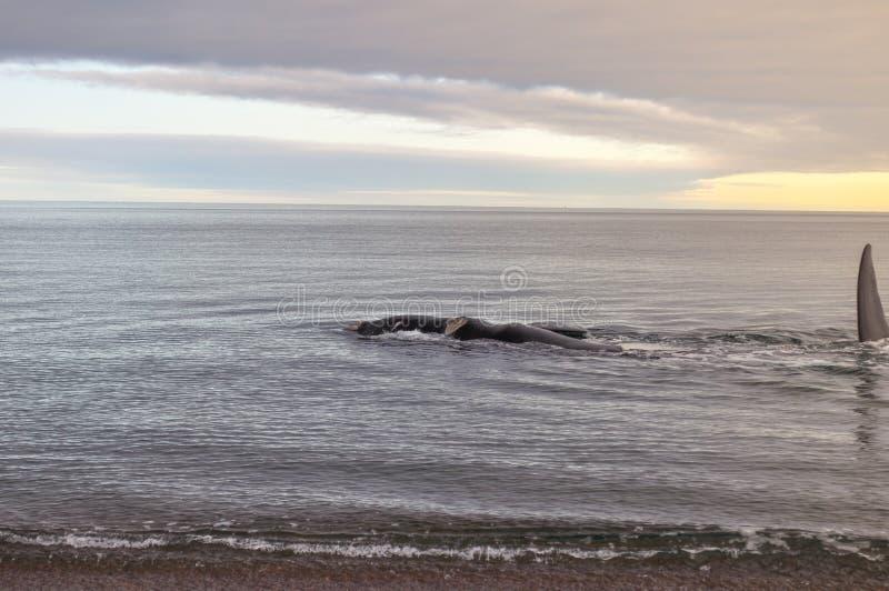 Ein Wal auf Doradillo-Strand in der Halbinsel Valdes lizenzfreie stockfotografie