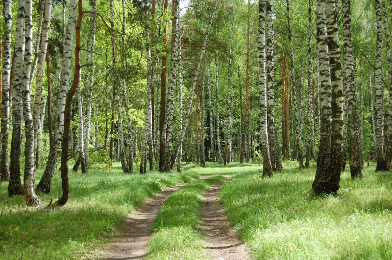 Ein Wald des Schotterwegs im Früjahr stockfotos