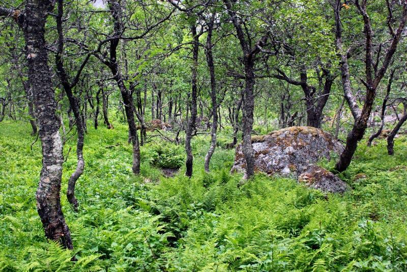 Ein Wald von knotigen zwergartigen arktischen Birken und von anderen Bäumen, Norwegen stockbilder