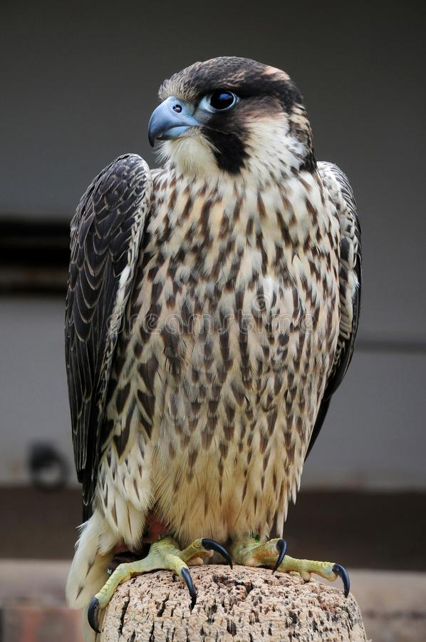 Ein Wanderfalke-Falco-peregrinus lizenzfreie stockfotos