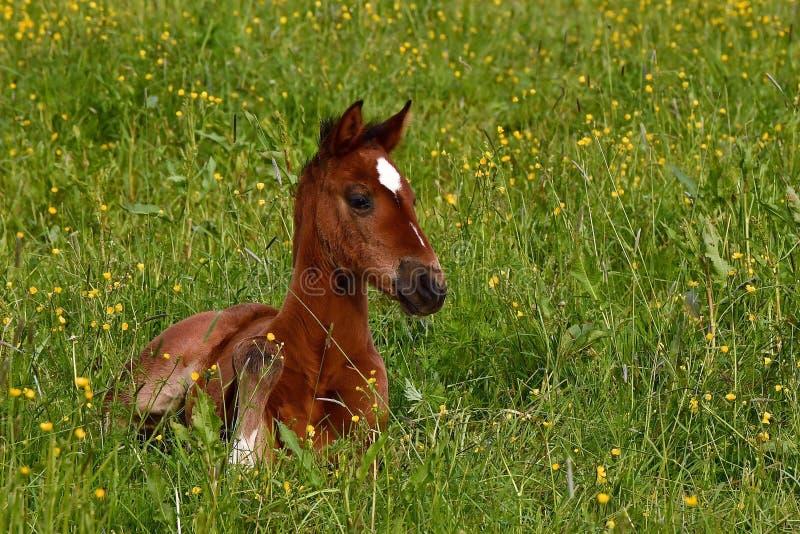 Ein warmbl?tiges Fohlen des trottenden Pferds stockfoto