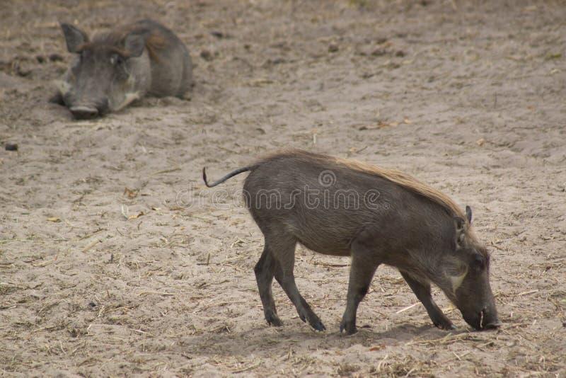 Ein Warzenschwein im wilden in Senegal stockfoto
