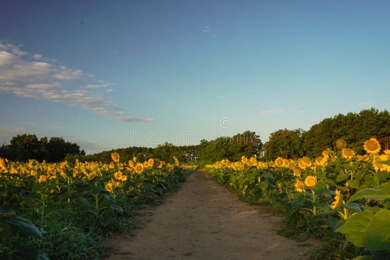 Ein Weg führt hinunter die Mitte eines Sonnenblumenfelds bei Sonnenaufgang im Sommer lizenzfreies stockbild