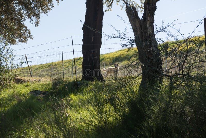 Ein weißer hispanischer Mastiff zwischen zwei Bäumen hält ein Land nahe Grimaldo stockfotografie