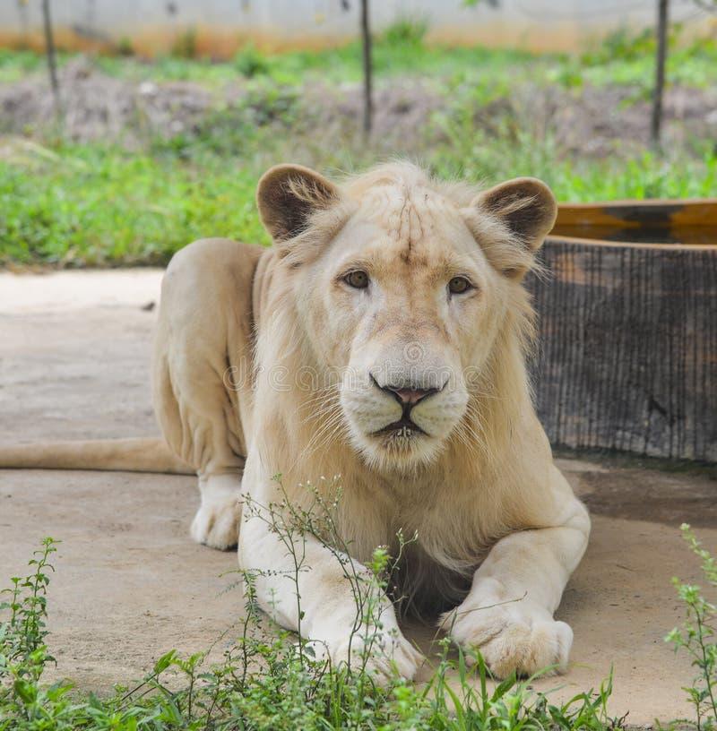 Ein weißer Löwe am Zoo lizenzfreie stockbilder